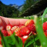 Jahody sú plne vitamínov a zdravia